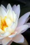 Lotus. White lotus with black background stock photos