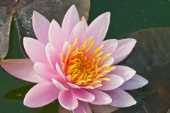 Lotus. Pink and yellow cream color lotus on leaf and water background image Stock Images
