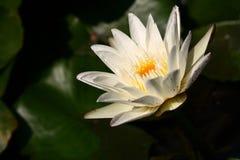Lotus Royalty-vrije Stock Foto's