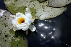 Lotus. Bright white water lily being pollinized by a bee in the danube delta stock image