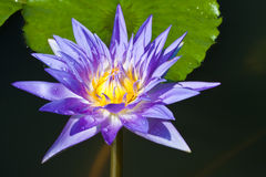 Lotus. Purple lotus on leaf background image Royalty Free Stock Photography