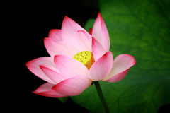 Lotus. Pink Lotus with green leaf stock photography