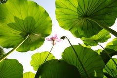 Lotus Royalty Free Stock Photos