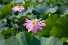 Lotus Stock Photos