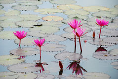 Lotus. Pink lotus bloom in the morning Royalty Free Stock Image
