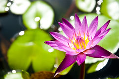 Lotus. Blooming lotus is above on the lake Stock Image