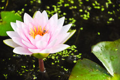 Lotus. Is flowers float the river Stock Images