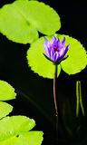 Lotus. A purple water lilly amongst some lilly pads, plays host to a fly royalty free stock photography