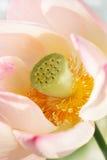 Lotus. Close-up, sunny day Royalty Free Stock Photos