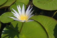 Lotus. White lotus in a pond Stock Images