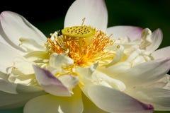 Lotus. White Lotus up close Stock Photo