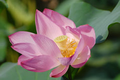 Lotus Photo stock