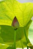 Lotus 2 Royalty Free Stock Photography