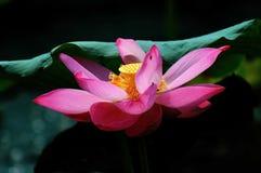 Lotus_20 Stock Afbeeldingen