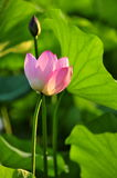 Lotus. Park in the beautiful lotus blossom Royalty Free Stock Photography