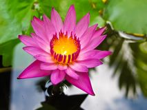 Lotus Royalty Free Stock Photos