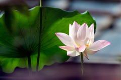 Lotus. Pink lotus flowering in greenhouse Royalty Free Stock Photo