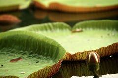 Lotus. Giant lotus leaves in tropical land.garden in Singapore royalty free stock image