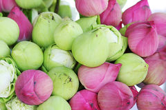 Lotus. A green and pink lotus Stock Photos