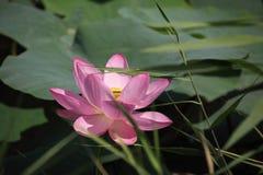 Lotus. Lotos, filmed at the Lake in the village of Slavyanka, Primorsky Krai, Russia Royalty Free Stock Image