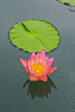 Lotus. At the park in Bangkok, Thailand Stock Image