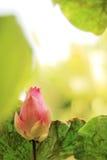Lotus. Blooming Lotus in Morning Light Stock Photo
