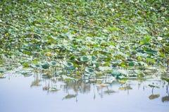 Lotus Royalty Free Stock Photography