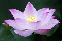 Lotus. Close-up lotus blossom - waterlily Stock Photos