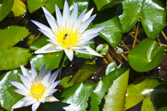 Lotus. A White lotus with bee Royalty Free Stock Images