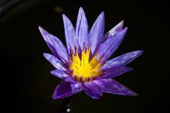 Lotus. Wonderful lotus in the pond Royalty Free Stock Photography