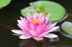 Lotus. Royalty Free Stock Image
