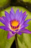 Lotus στοκ εικόνες με δικαίωμα ελεύθερης χρήσης