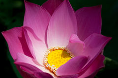 Lotus. Close-up photo of a red lotus Stock Images