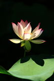 Lotus. Shadow on  leaf stock photography