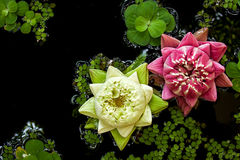 Lotus. In Thai traditional style Royalty Free Stock Image