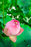 Lotus. Royalty Free Stock Images