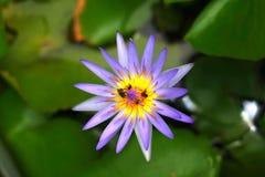 Lotus Stockbild
