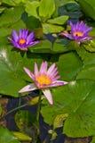 Lotus Royalty Free Stock Photo