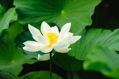 Lotus 3 Royalty-vrije Stock Afbeelding