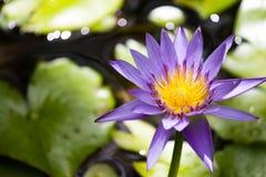 Lotus Lizenzfreie Stockfotos