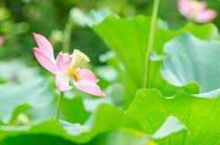 Lotus. fotografía de archivo libre de regalías