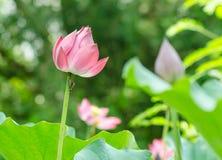 Lotus. fotos de archivo
