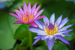 Lotus Immagine Stock