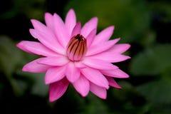 Lotus imagen de archivo