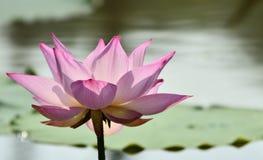 Lotus Lizenzfreie Stockbilder