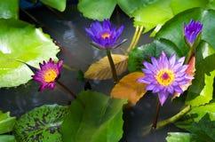 Lotus Fotografia Stock Libera da Diritti