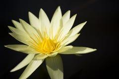 Lotus Immagini Stock Libere da Diritti