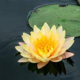 Lotus Immagini Stock
