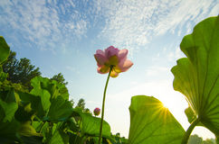 Lotus. Flowers in the sunshine stock images