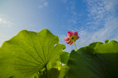 Lotus. Flowers in the sunshine stock photos